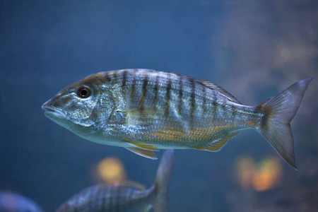 perciformes: Sand steenbras (Lithognathus mormyrus), also known as the striped seabream.
