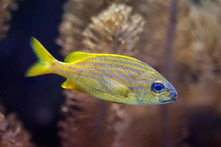 French grunt (Haemulon flavolineatum). Marine fish.