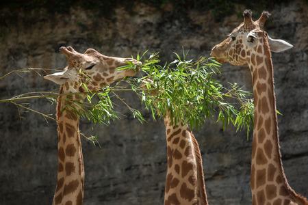 savannas: Kordofan giraffe (Giraffa camelopardalis antiquorum), also known as the Central African giraffe. Wildlife animal.