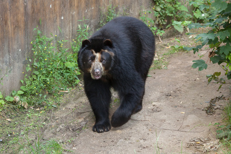 spectacled: Spectacled bear (Tremarctos ornatus), also known as the Andean bear. Wildlife animal.