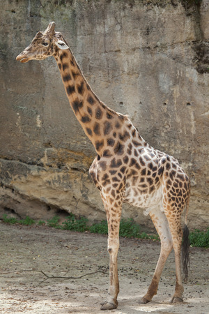 giraffa: Kordofan giraffe (Giraffa camelopardalis antiquorum), also known as the Central African giraffe. Wildlife animal.