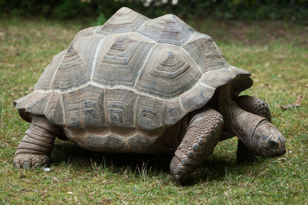 gigantea: Aldabra giant tortoise (Aldabrachelys gigantea). Wildlife animal.