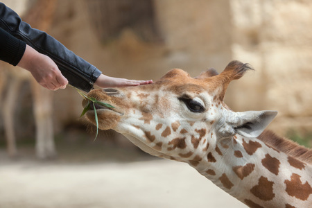 Visitors feed and touch the Kordofan giraffe (Giraffa camelopardalis antiquorum), also known as the Central African giraffe at Doue-la-Fontaine Zoo in Maine-et-Loire, France. Stock Photo