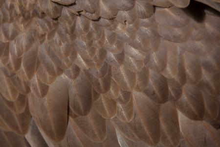 gyps: Griffon vulture (Gyps fulvus). Plumage texture.