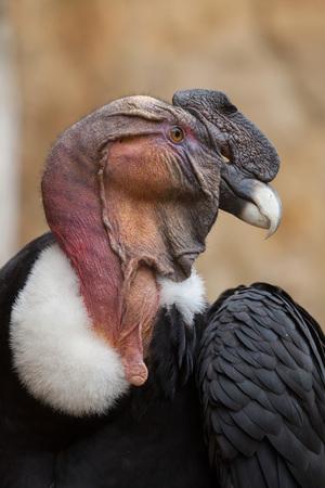condor: Andean condor (Vultur gryphus). Wildlife animal.