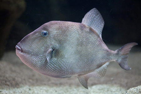 triggerfish: Grey triggerfish (Balistes capriscus). Marine fish.