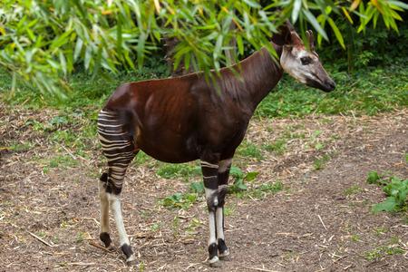 hoofed: Okapi (Okapia johnstoni). Wildlife animal.