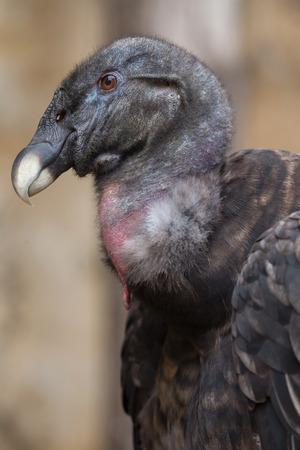 marta: Andean condor (Vultur gryphus). Wildlife animal.