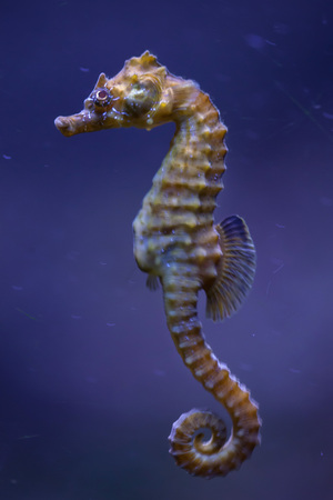 Short-snouted seahorse (Hippocampus hippocampus). Sea animal. Stock Photo