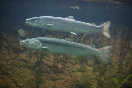 salmonidae: Huchen (Hucho hucho), also known as the Danube salmon. Wildlife animal. Stock Photo
