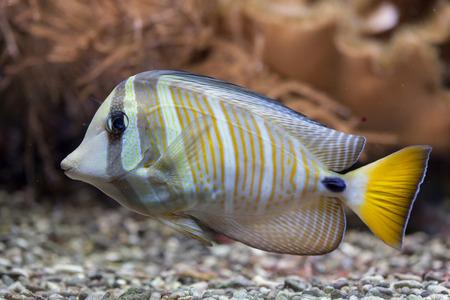 tang: Sailfin tang (Zebrasoma veliferum). Wildlife animal. Stock Photo
