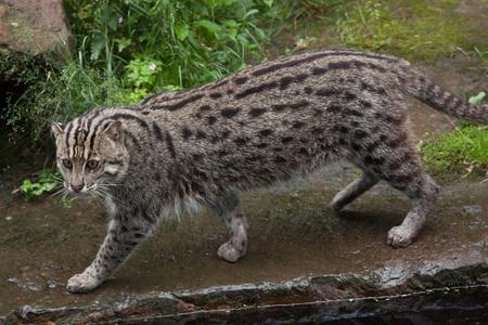 prionailurus: Fishing cat (Prionailurus viverrinus). Wildlife animal.