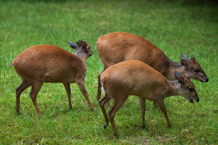 zimbabwe: Red forest duiker (Cephalophus natalensis), also known as the Natal duiker. Wildlife animal.
