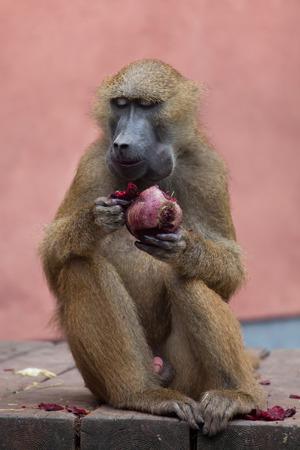Guinea baboon (Papio papio). Wildlife animal. Stock Photo