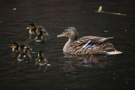 wild duck: Wild duck (Anas platyrhynchos), also known as the mallard. Female duck with ducklings. Wildlife animal. Stock Photo