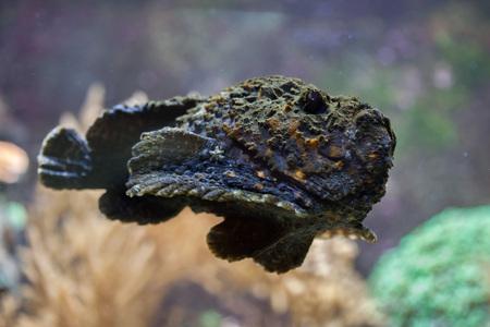 stonefish: Reef stonefish (Synanceia verrucosa), also known as the stonefish. Wildlife animal.