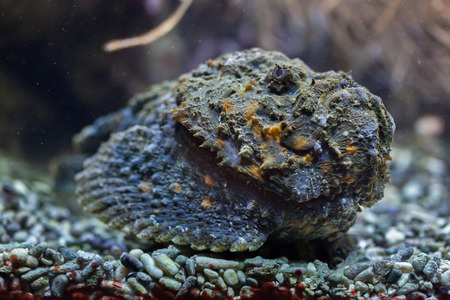stonefish: Reef stonefish (Synanceia verrucosa), also known as the stonefish. Wildlife animal.