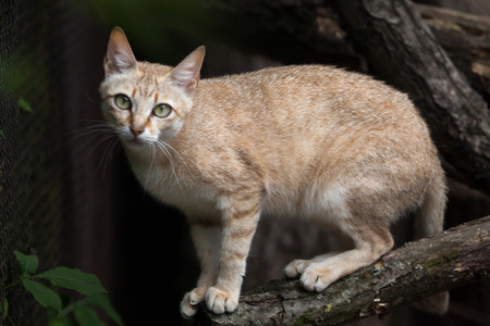 wildcats: Arabian wildcat (Felis silvestris gordoni), also known as the Gordon wildcat. Wildlife animal.