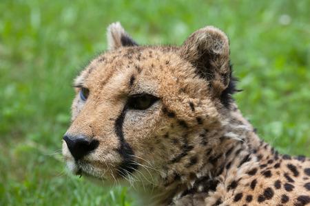 felid: Cheetah (Acinonyx jubatus). Wildlife animal.