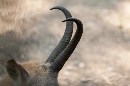bovid: Horns of Alpine chamois (Rupicapra rupicapra rupicapra). Wildlife animal.