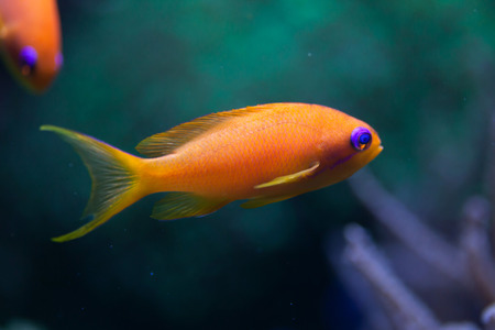 Sea goldie (Pseudanthias squamipinnis), also known as the lyretail anthias. Wildlife animal. Stock Photo