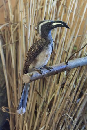 savannas: African grey hornbill (Tockus nasutus). Wildlife animal.