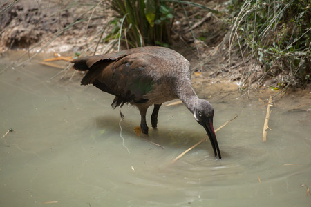 zimbabwe: Hadada ibis (Bostrychia hagedash), also known as the hadeda ibis. Wildlife animal.