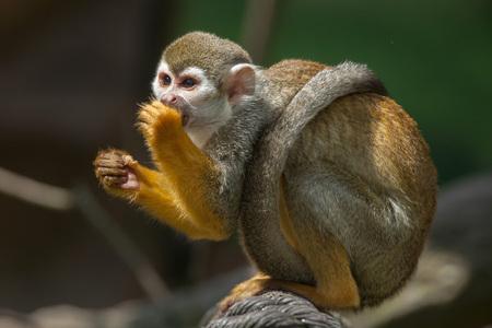 Common squirrel monkey (Saimiri sciureus). Wildlife animal.