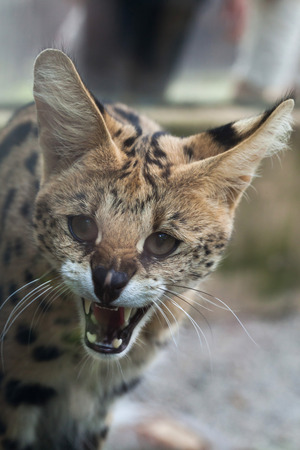 wildcats: Serval (Leptailurus serval), also known as the tierboskat. Wildlife animal.