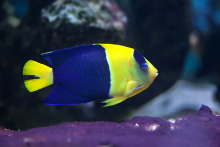 indopacific: Bicolor angelfish (Centropyge bicolor), also known as the oriole angelfish. Wildlife animal.