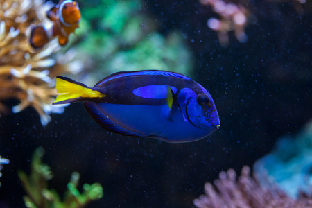 hepatus: Blue surgeonfish (Paracanthurus hepatus), also known as the blue tang. Wildlife animal.