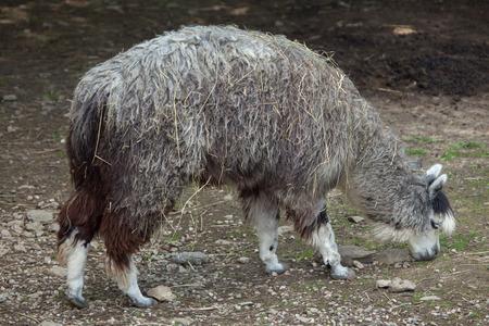 alpaca animal: Alpaca (Vicugna pacos). Wildlife animal. Stock Photo