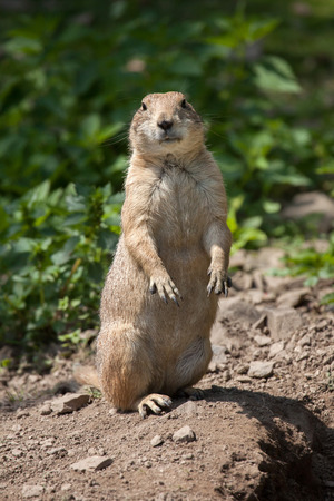 life guard stand: Black-tailed prairie dog (Cynomys ludovicianus). Wildlife animal.