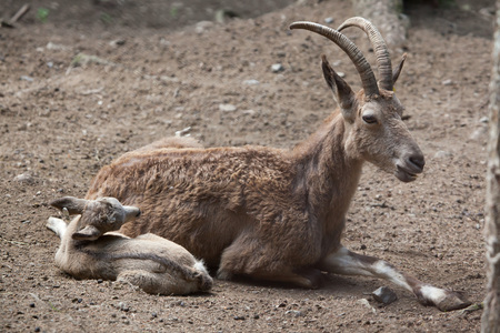 Siberian ibex (Capra sibirica). Wildlife animal. Stock Photo