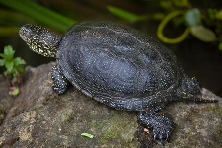emys: European pond turtle (Emys orbicularis), also known as the European pond terrapin. Wildlife animal. Stock Photo