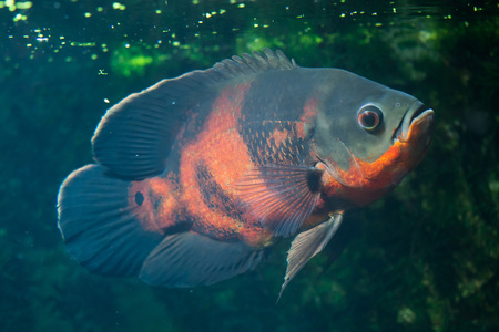 Oscar fish (Astronotus ocellatus). Wildlife animal.