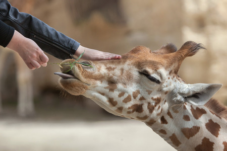DOUE-LA-FONTAINE, FRANCE - JULY 2, 2016: Visitors feed and touch the Kordofan giraffe (Giraffa camelopardalis antiquorum), also known as the Central African giraffe at Doue-la-Fontaine Zoo in Maine-et-Loire, France. Editorial