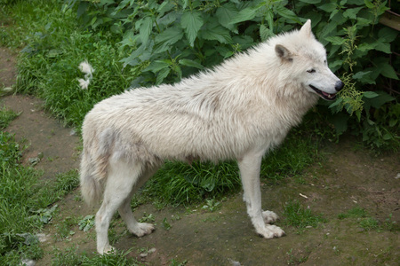canid: Arctic wolf (Canis lupus arctos), also known as the Melville Island wolf.  Wildlife animal.
