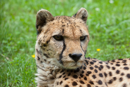 acinonyx: Cheetah (Acinonyx jubatus). Wildlife animal.
