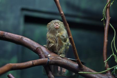 primates: Pygmy marmoset (Cebuella pygmaea). Wildlife animal.