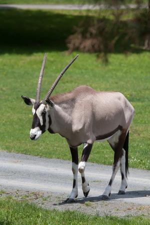 Gemsbok (Oryx gazella gazella), also known as the Southern oryx. Wildlife animal.