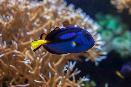 paracanthurus: Blue surgeonfish (Paracanthurus hepatus), also known as the blue tang. Wildlife animal.