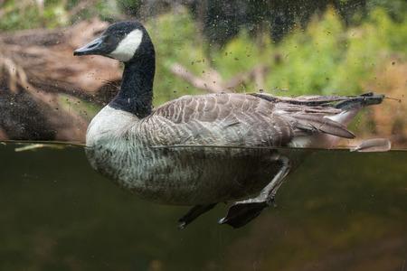 Canada goose (Branta canadensis). Wildlife animal. Stock Photo