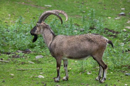 iraq: Bezoar ibex (Capra aegagrus aegagrus), also known as the Anatolian Bezoar ibex. Wildlife animal. Stock Photo