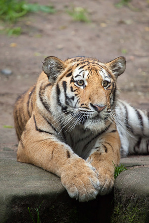 Tigre siberiano joven (Panthera tigris altaica), también conocido como el tigre de Amur. Animal de la fauna.