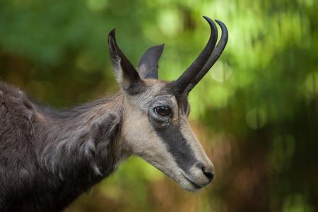 bovid: Alpine chamois (Rupicapra rupicapra rupicapra). Wildlife animal. Stock Photo