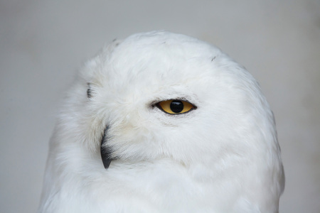 strigiformes: Snowy owl (Bubo scandiacus). Wildlife animal. Stock Photo