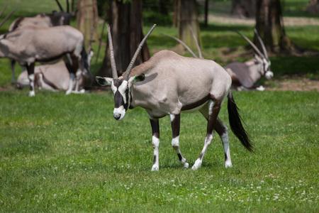 savannas: Gemsbok (Oryx gazella gazella), also known as the Southern oryx. Wildlife animal.