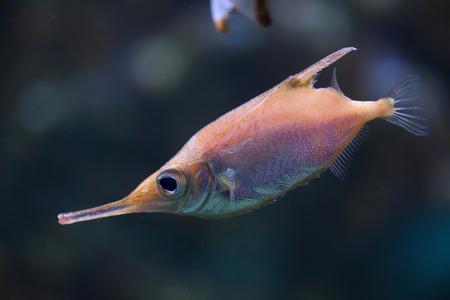 Longspine snipefish (Macroramphosus scolopax), also known as the bellowfish or trumpetfish. Stock Photo
