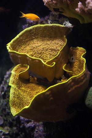 lyretail: Yellow scroll coral (Turbinaria reniformis), also known as the yellow lettuce coral, and sea goldie (Pseudanthias squamipinnis), also known as the lyretail anthias. Stock Photo